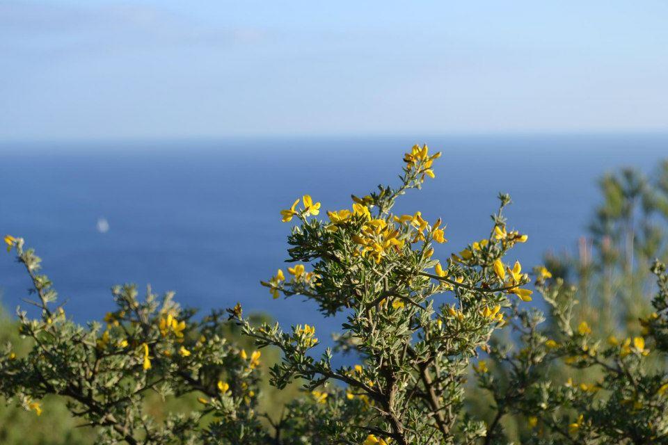 Ginestra spinosa (Calycotome spinosa), localmente nota come Pruno Caprino (Foto di A.Aprile)